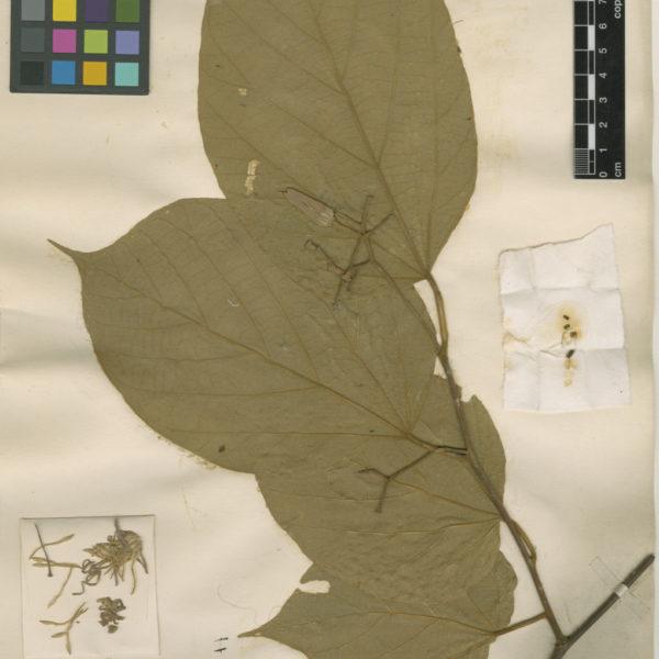 Alangium kurzii