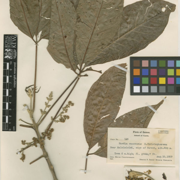 Euodia latifolia/ Melicope latifolia
