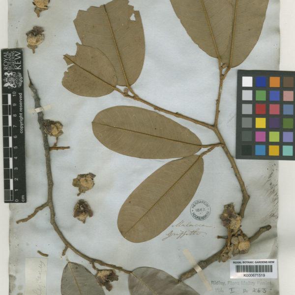 Durio oxleyanus