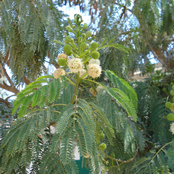 Leucaena cultivars