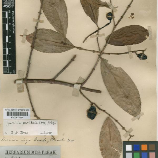 Garcinia parvifolia