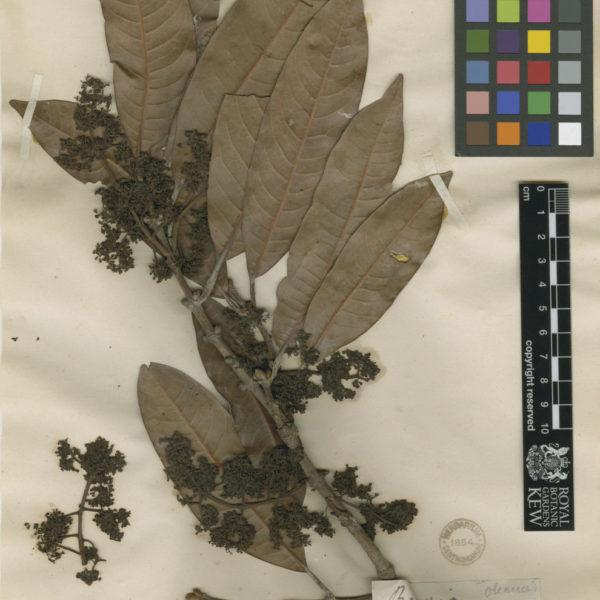 Bouea macrophylla