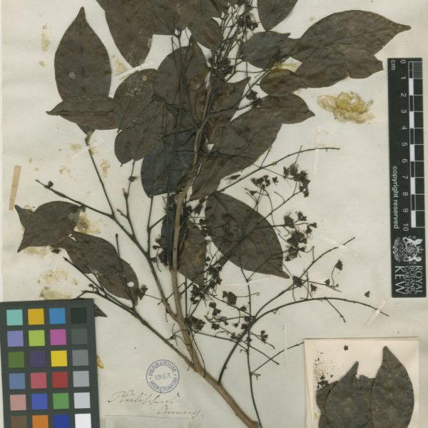 Archidendron pauciflorum