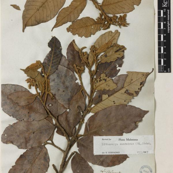 Quercus sundaica/ Lithocarpus sundaicus