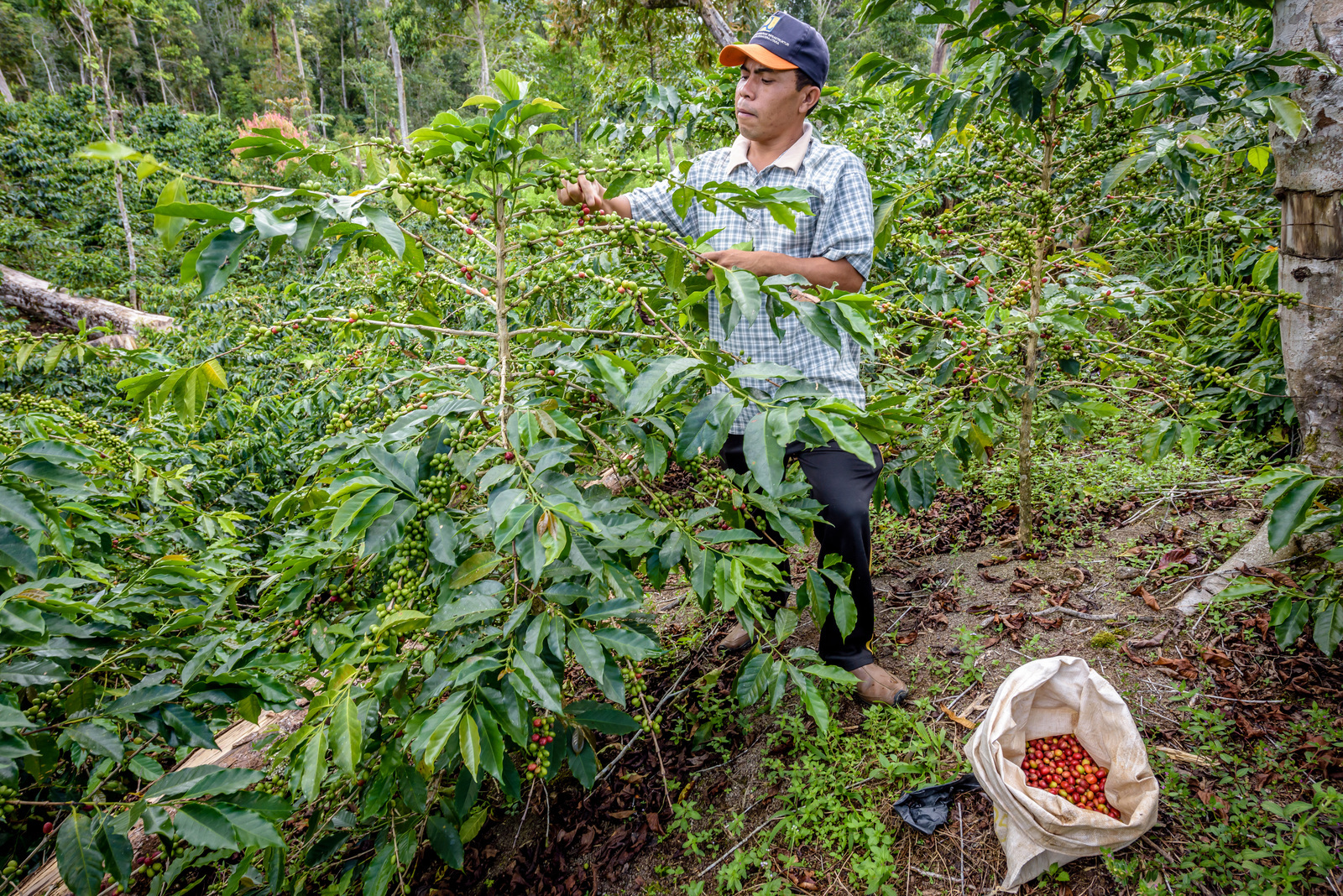 A male farmer harvesting coffee berries from a large bush. A sack of red coffee berries is on the ground beside him.