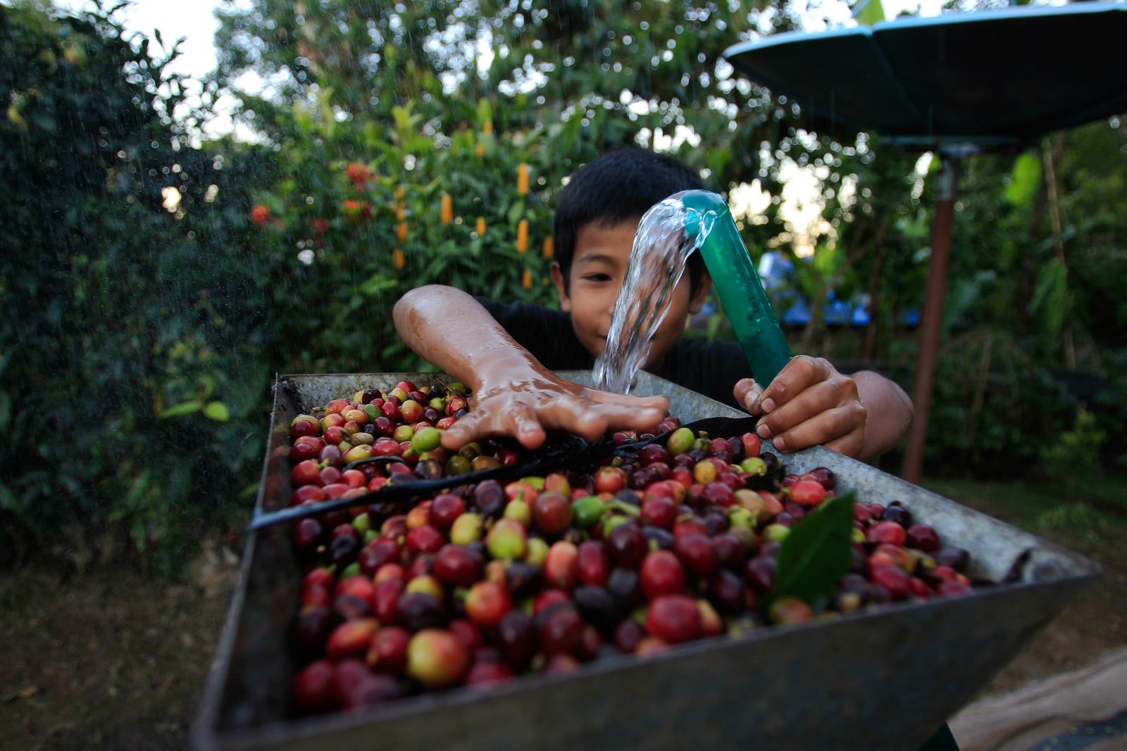 A young boy washing coffee berries with a hose