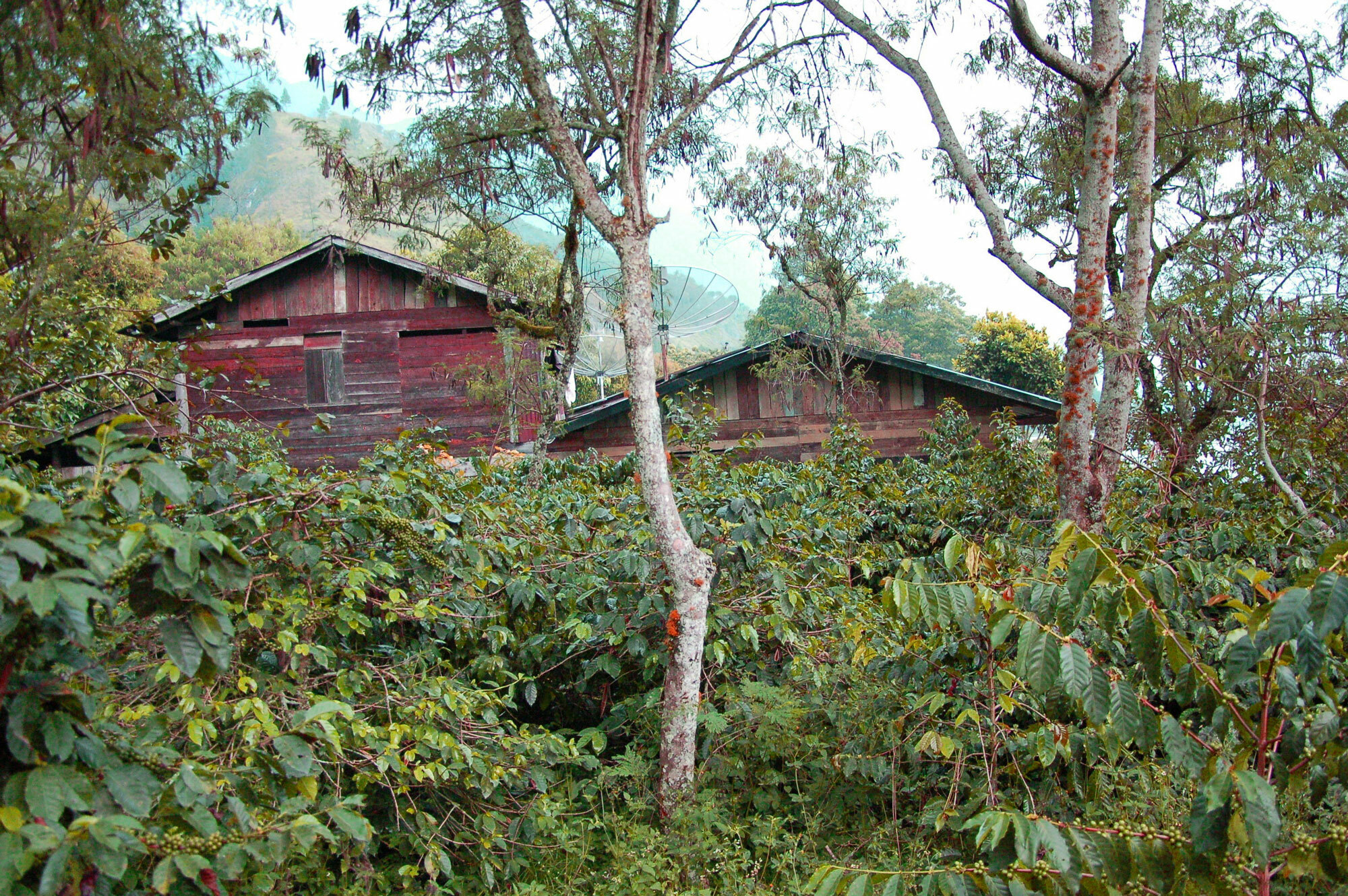 Lush coffee farm under shade trees in front of two red wood buildings