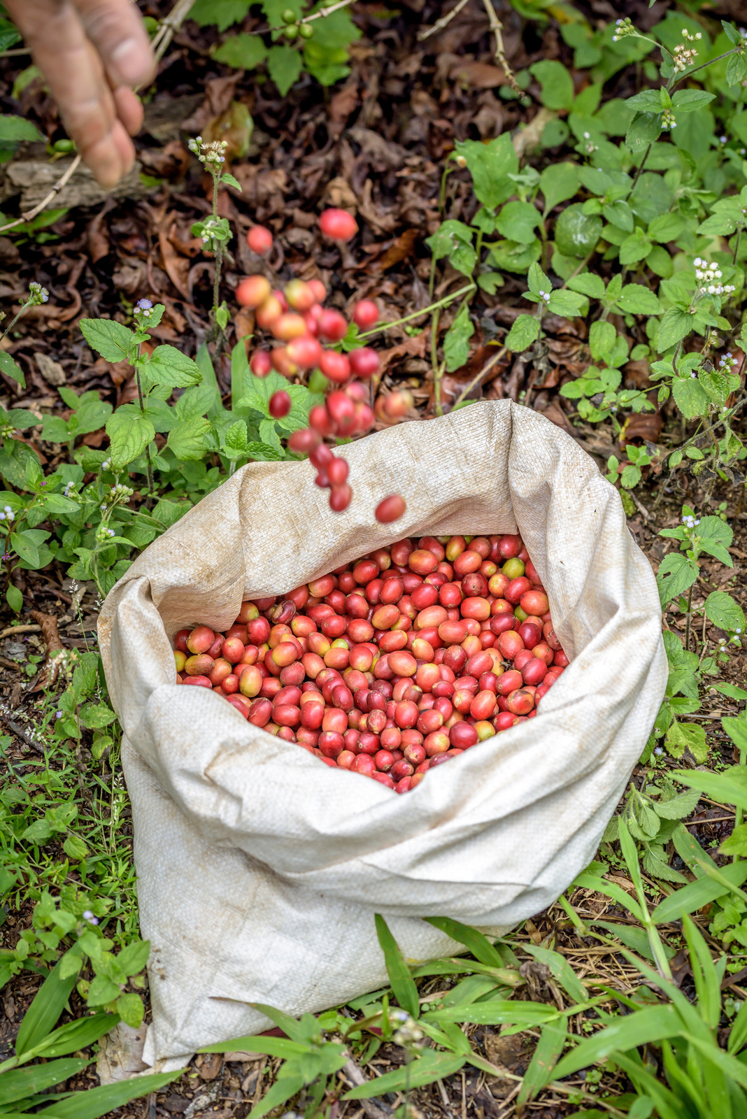 A hand tossing red coffee berries into a sack
