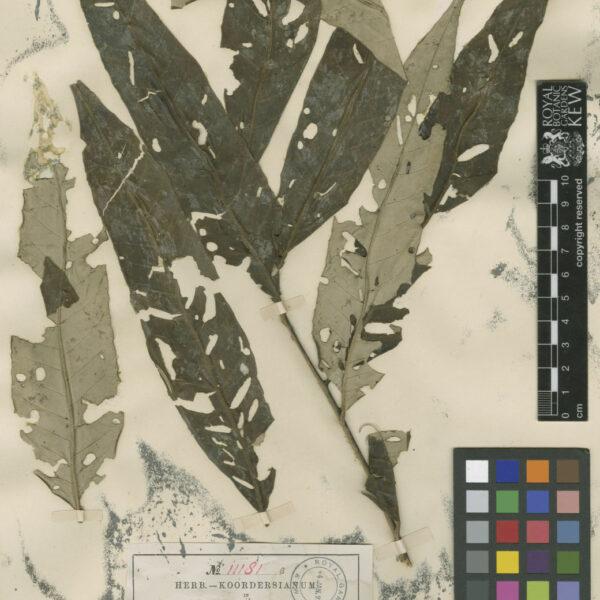 Aglaia argentea