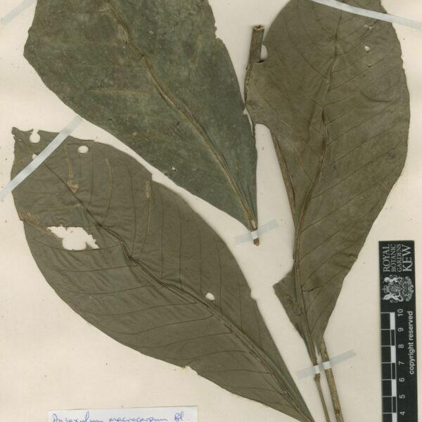 Dysoxylum macrocarpum