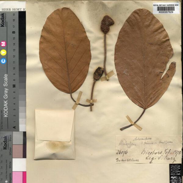 Artocarpus teysmannii