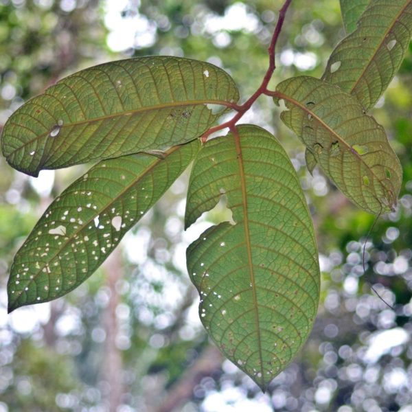 Horsfieldia grandis