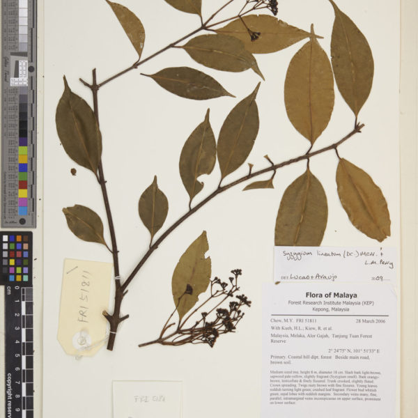 Syzygium cerasiforme