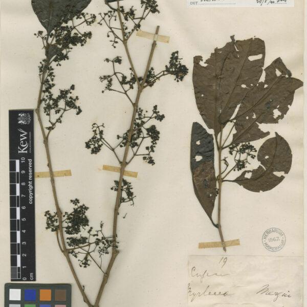 Syzygium polyanthum