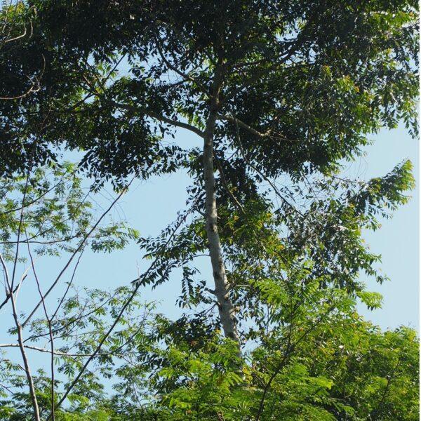 Maesopsis eminii